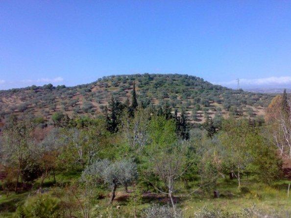 زيتون سلقين ( تل تلا الأثري )
